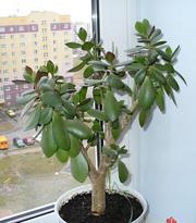 Проам денежное дерево в Пензе,  тел. 79-44-65
