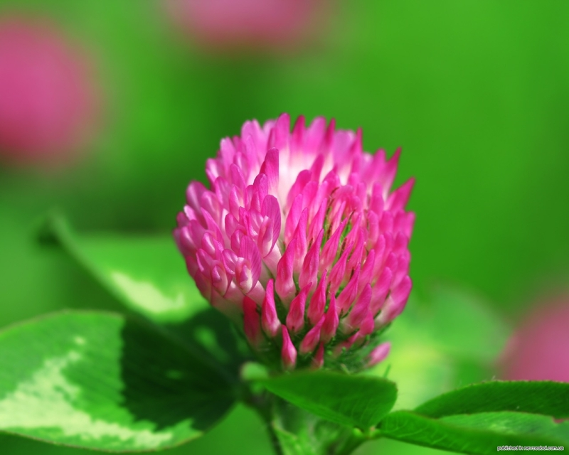 Цветы картинки клевер 2