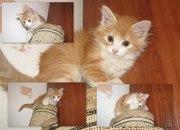 Полуперсидского котёнка продам