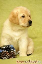 Недорого куплю щенка породы Лабрадор