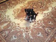 Цвергшнауцера щенок черно-серебристого окраса