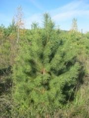 Купить елку сосну живую рубленную