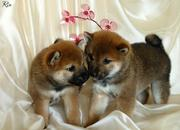 Золотая японская лисичка Сиба ину!