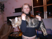 Кот породы мейн-кун приглашает на вязку