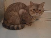 Предлагаю британского кота для вязки