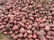 Картофель оптом от КФХ. Доставка от 50 тонн бесплатно