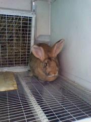Продаю кроликов на развод и убой