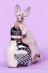 Роскошные котята канадский сфинкс из питомника.